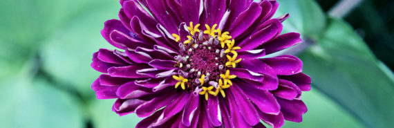 zinnia flower (vascular plants database concept)