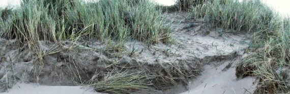 invasive beachgrass