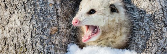 virginia opossum in snowy tree