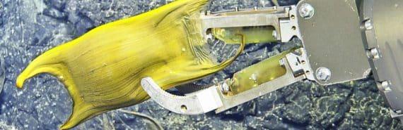 ROV arm holds skate egg case