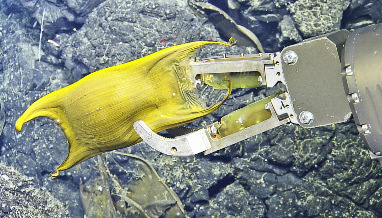 ROV arm holds skate egg case