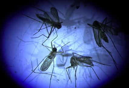 mosquito-scope-cclark2