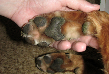 Dog's_paw_1