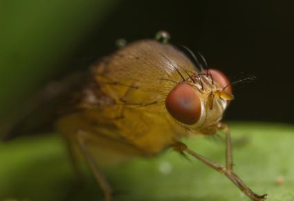 TexasAM_fruitfly