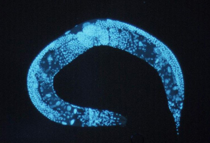 Enlarged_c_elegans_1