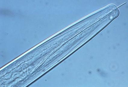 biofuel_needlenematode_1