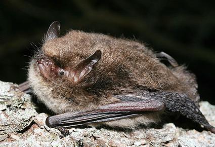 myotis_bat_1