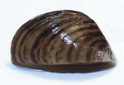 zebra_mussels_1