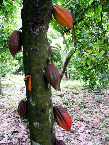 cacao_pods_tall_3