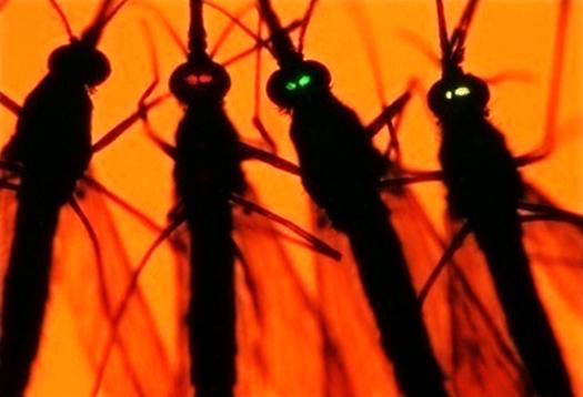 Mosquito genes modified to zap malaria - Futurity