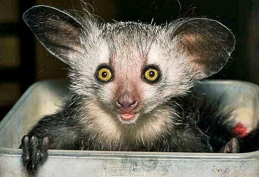Odd lemur's habitat limits its gene pool