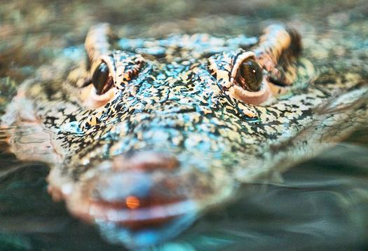 'Invisible whiskers' make crocs super sensitive