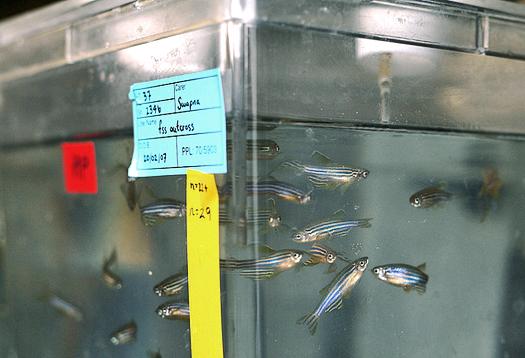 Weed-killer warps genes in fish embryos