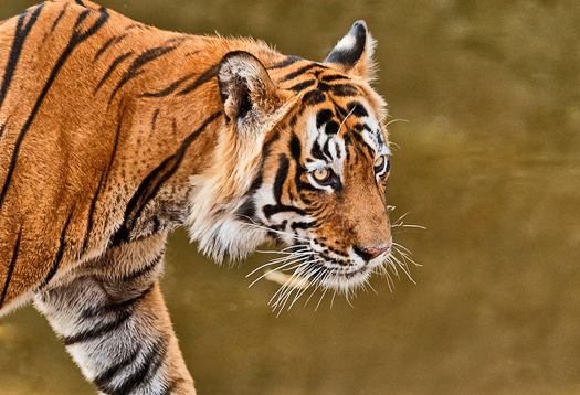 Inbreeding threatens India's wild tigers