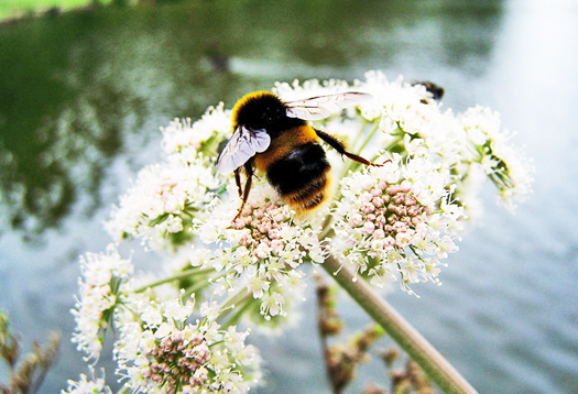 Are Europe's wild bees bouncing back?