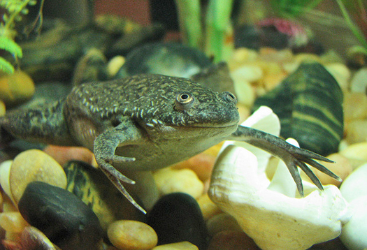 Clawed frogs spread deadly amphibian fungus