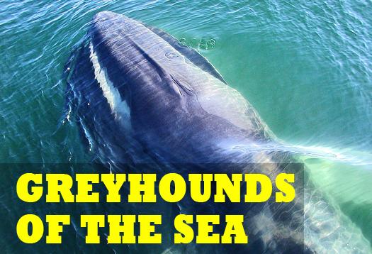 Earthquake sensors on seafloor track whale songs