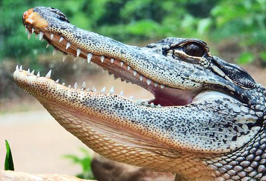 Behind gator's grin, the secret to regrowing teeth?