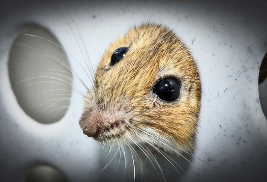 One gene lets mice smell danger
