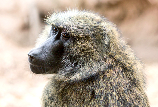 Count on it: Baboons 'know' numbers