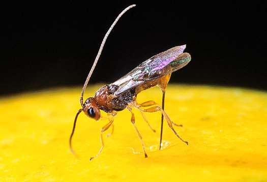 Parasitic wasps suck calcium out of flies