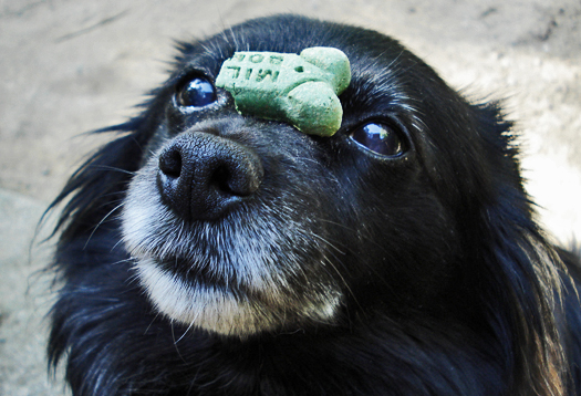 Like purebreds, mutts can inherit medical trouble