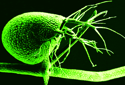 Carnivorous plant trims its tiny genome