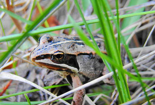 Frogs near fields build resistance to insecticides