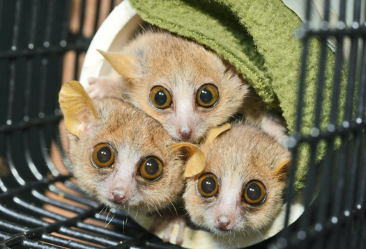 Lemur personalities vary from shy to 'mean as sin'