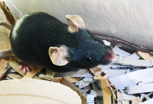 Mouse brains differ if dad was stressed out