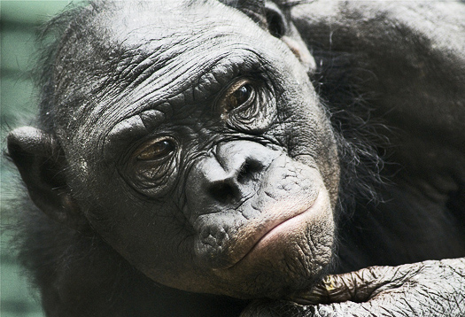 DNA reveals complexity of great ape evolution
