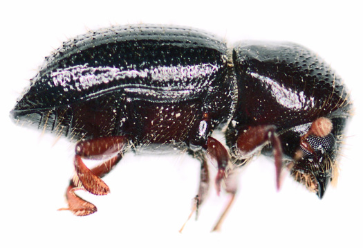 Beetles with green thumbs attack avocados