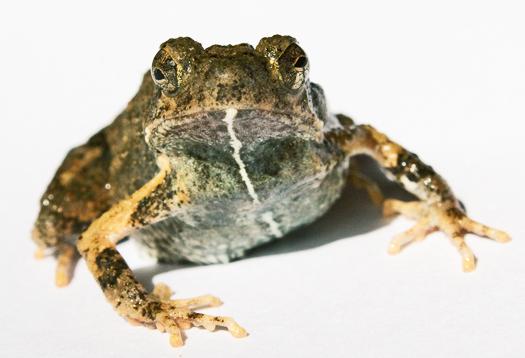Robot frog woos ladies despite bad whine