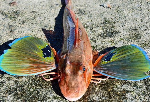 Evolution's opportunists: ray-finned fish