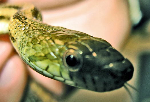 How awake snakes can lead to West Nile