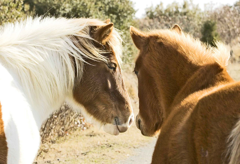 Is contraception the solution to horses gone wild?