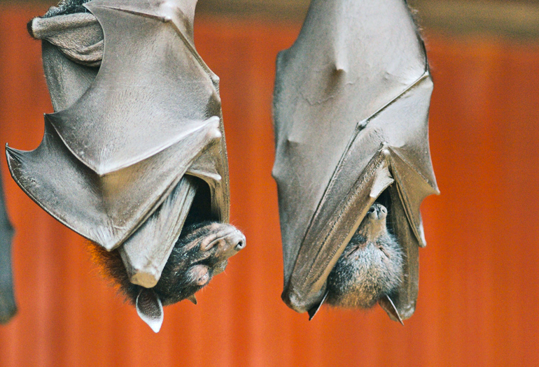 How to stop deadly bat virus from going global