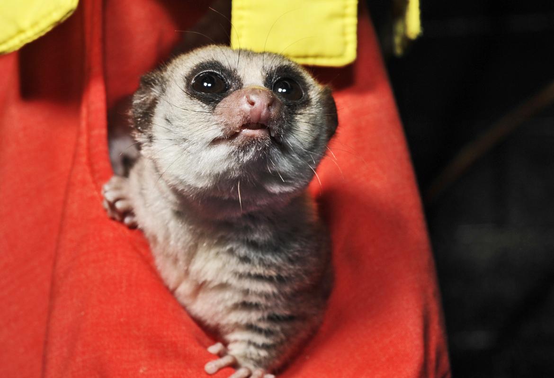 lemur looking up