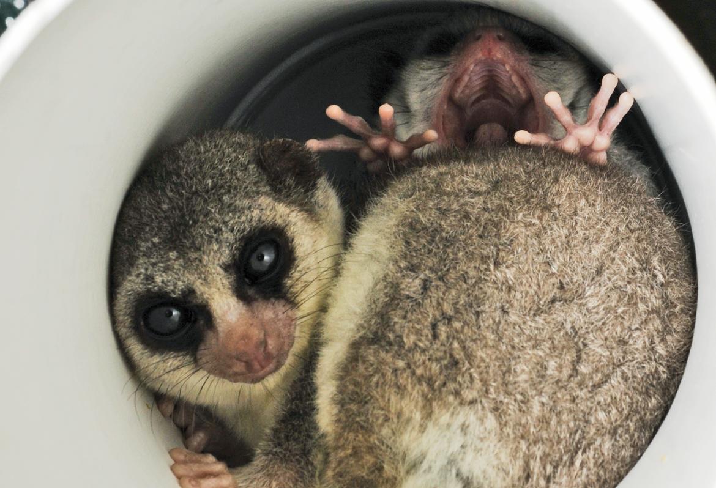 lemurs in tube