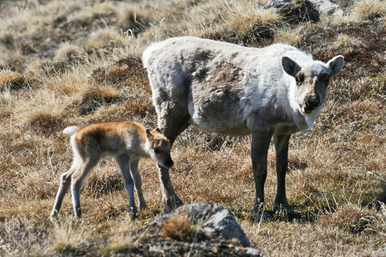 A female caribou and her calf. (Credit: Eric Post/ Penn State)