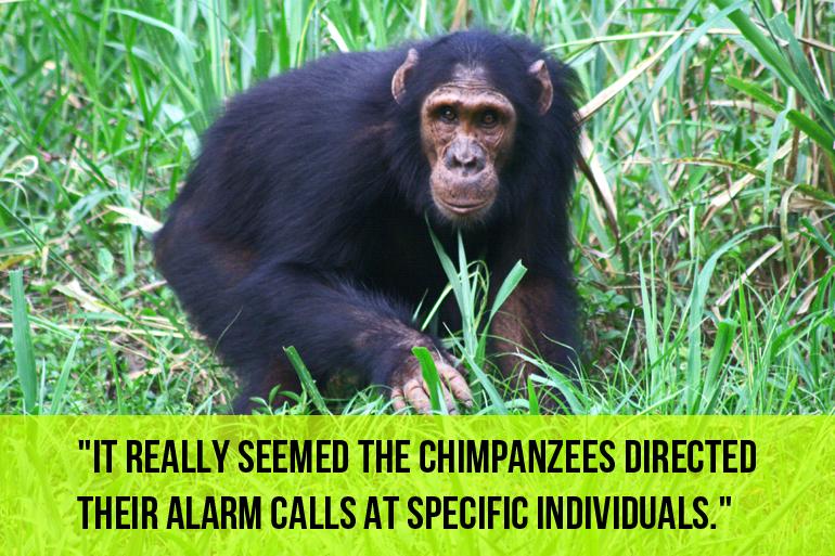 Startled chimpanzee, Budongo Forest, Uganda. (Credit: Katie Slocombe)