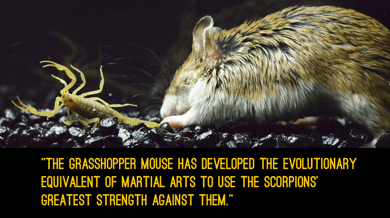 A grasshopper mouse attacks a bark scorpion. (Credit: Ashlee Rowe)