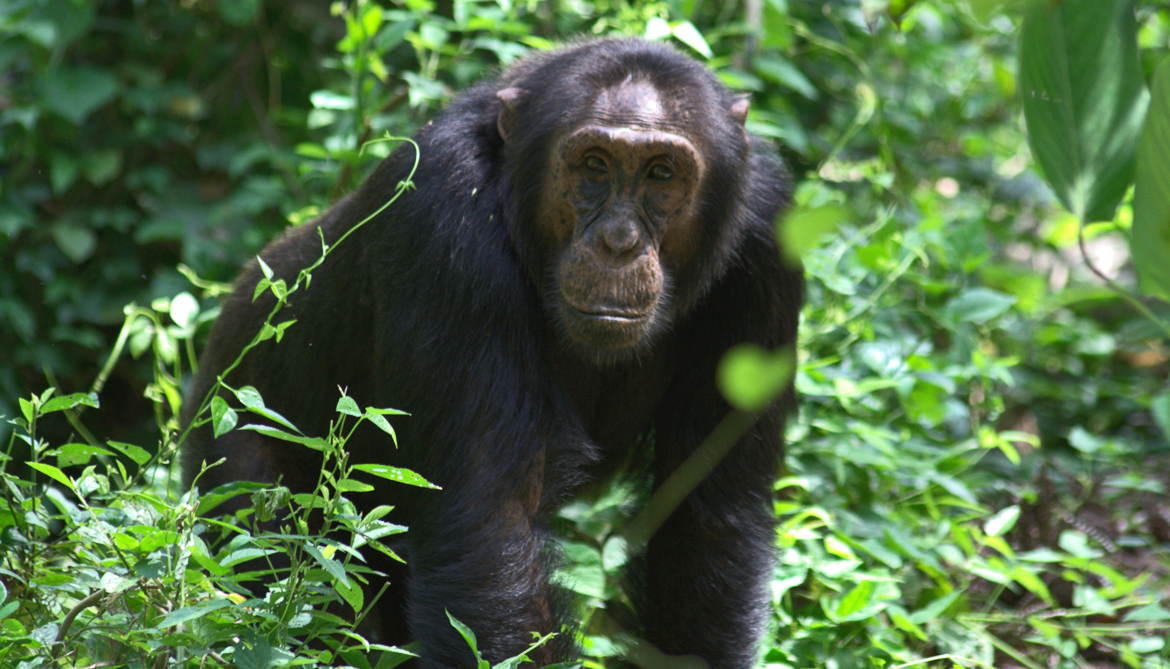Like humans, chimps call out alarms tactically