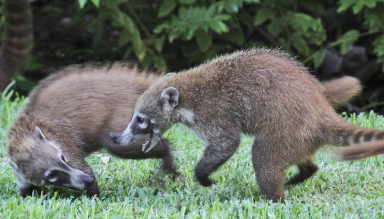 coatis play-fighting