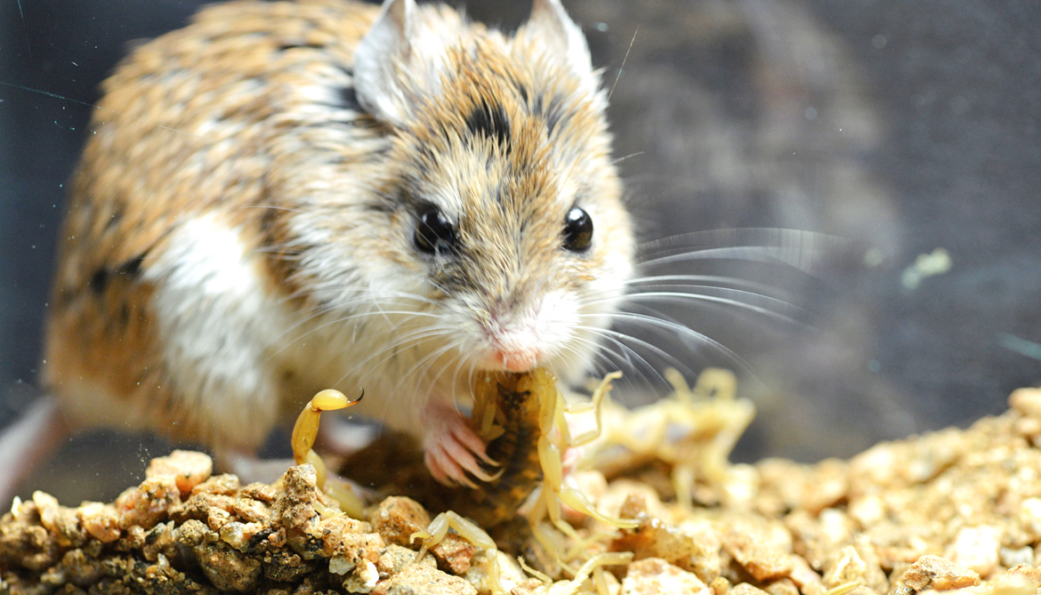 Mice chew on deadly scorpions to kill pain