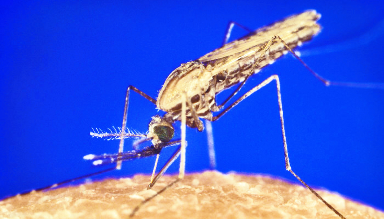 Malaria: Is crossbreeding a game changer?