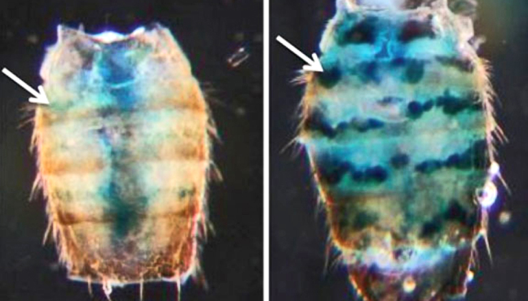 "Some genes need to be silenced for health and long life. Researchers used ""reporter"" genes to see whether changes associated with aging would reduce fruit flies' ability to silence those genes. Tissues with reporter genes glowed blue. The fly on the left is 10 days old; on the right, 50. (Credit: Helfand lab/Brown University)"