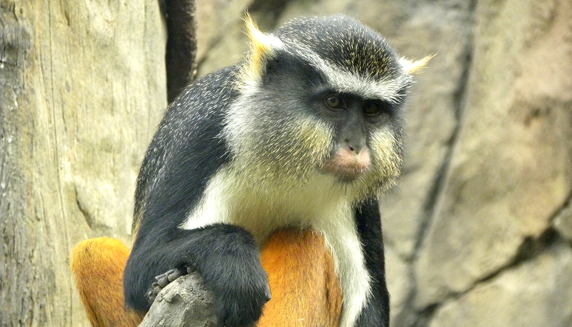 Color patterns of monkey faces reflect social order