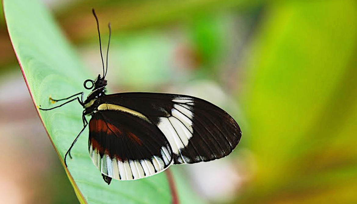 Tiny gene shift sparks new species of butterfly