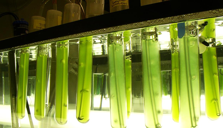 Insomniac algae produce more biofuel compounds